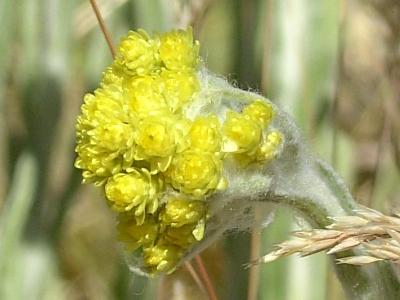 Helichrysum arenarium (Immortelle) in Eberstädter Düne bei Darmstadt